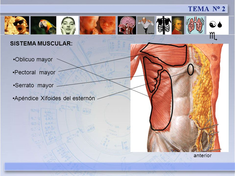 [Se] SISTEMA MUSCULAR: Oblicuo mayor Pectoral mayor Serrato mayor